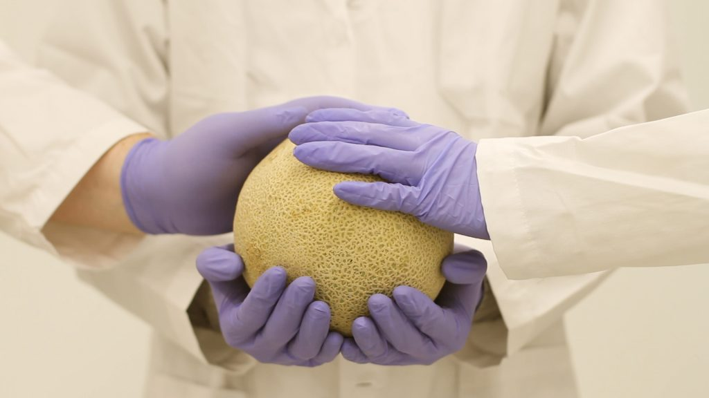 A scientist lifts a melon with both hands. Two other scientists rest their hands on the melon. All three wear nitrile gloves.